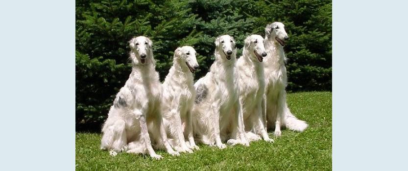 Выставка собак Российский Чемпионат Борзых