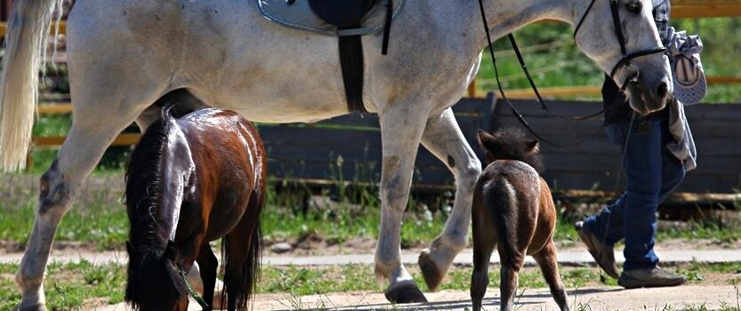 (RU) Фестиваль мини-лошадей