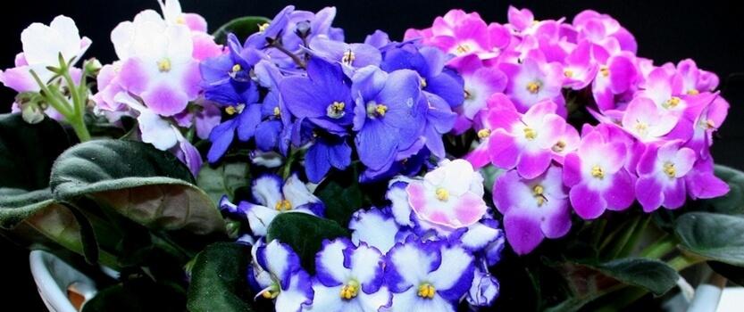 Выставка цветущих фиалок Зимнее чудо