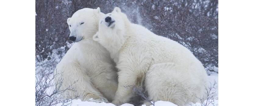 Международный день белого медведя
