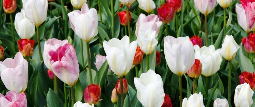 Мечты о весне: Выставка тюльпанов