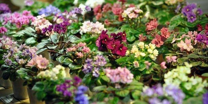 Выставка цветущих фиалок «Зимнее чудо»